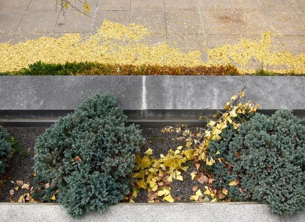 Gefallene gelbe Gingko-Blätter im Herbst