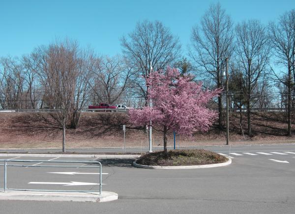 Ein blühendes Kirschbäumchen auf einer Verkehrsinsel inmitten eines Parkplatzes