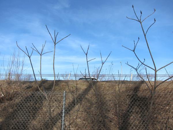 Winterliche Essigbäume an der Autobahn