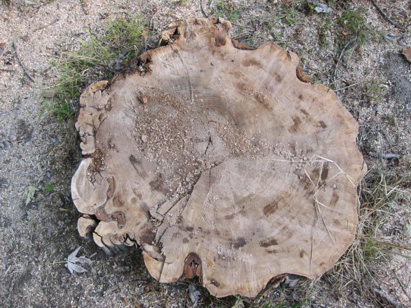 Der Stumpf eines abgesägten Baums in Draufsicht
